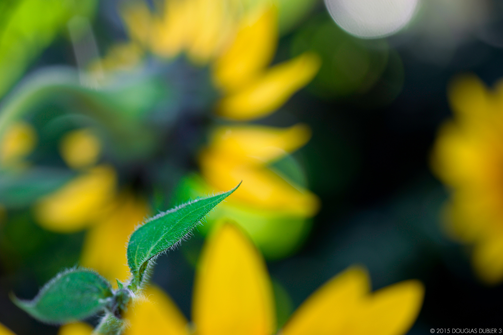 Sunflower_2607_Sh_D_Flt_©_630